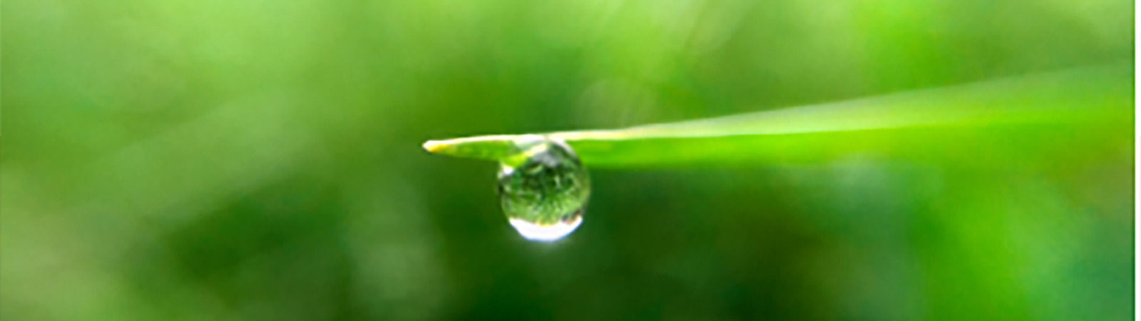 green leaf with a waterdrop at the end of leaf